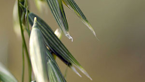 Common Oat -  Avena sativa