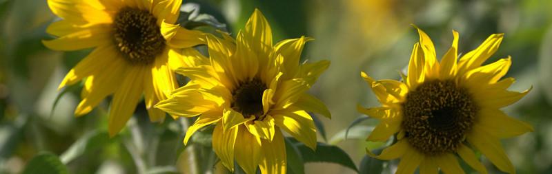 Sonnenhut - Helianthus annuus