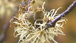 Witch Hazel - Hamamelis virginiana
