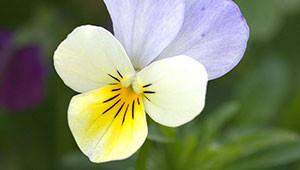 Stiefmütterchen - Viola tricolor