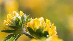 Kidney Vetch - Anthyllis vulneraria