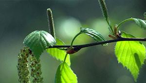 Birch - Betula pendula