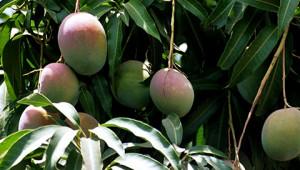 Dr.Hauschka: Mango butter from India