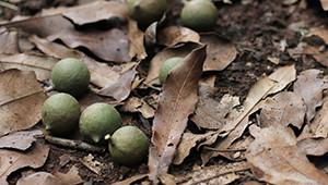 Dr.Hauschka: Macadamia nuts from Kenya