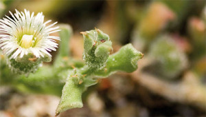 Mittagsblume - Mesembryanthemum crystallinum