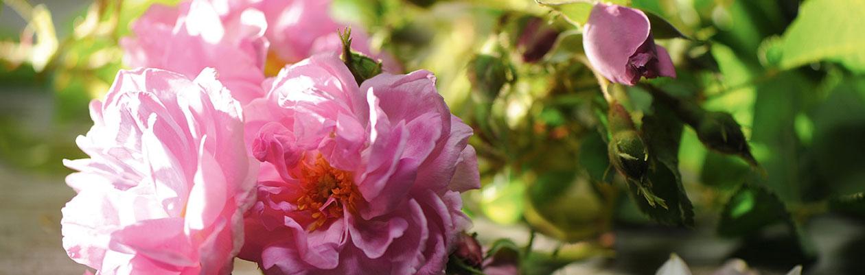 Key-ingredient-rose-petal