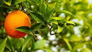 Bitterorange - Citrus aurantium amara