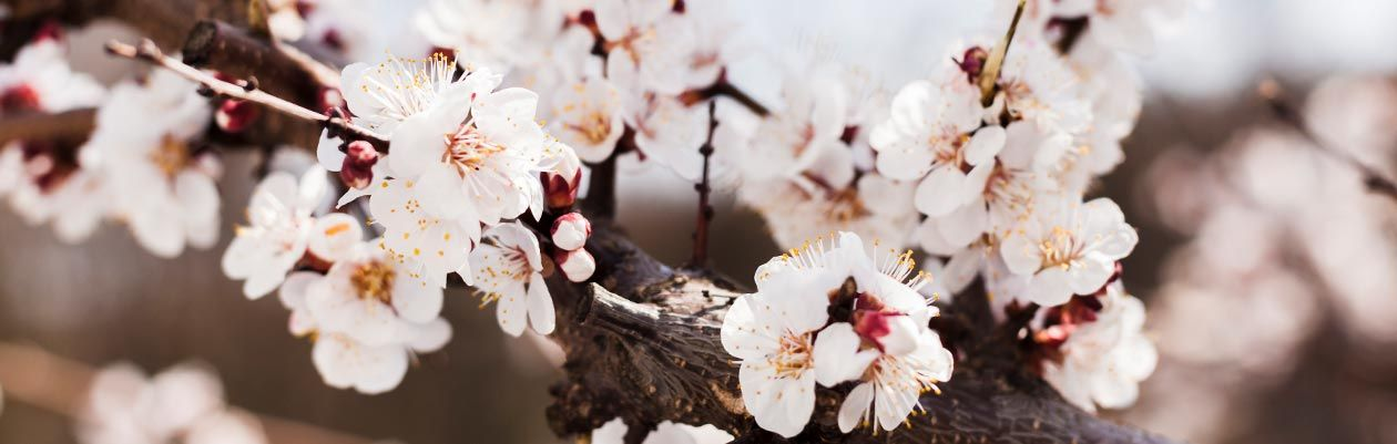Key-ingredient-almond-blossom