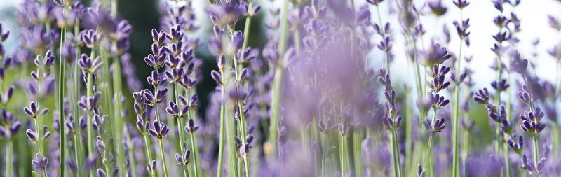 Dr.Hauschka Zahlung & Versandkosten - Lavendel