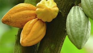 Kakao - Theobroma cacao