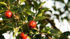 Acerola - Malpighia punicifolia