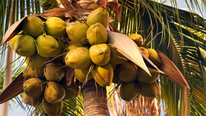 Coconut Tree - Cocos nucifera