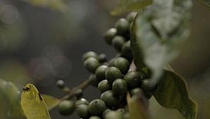 Macadamia - Macadamia ternifolia
