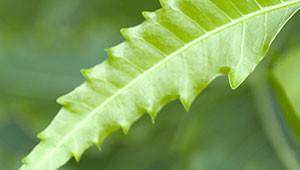 Neem - Azadirachta indica